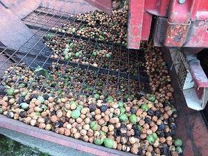 La récolte des noix c'est en ce moment